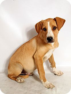 Labrador Retriever/Border Collie Mix Puppy for adoption in St. Louis, Missouri - Zig Lab BC