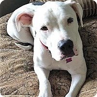 Terrier (Unknown Type, Medium)/Boxer Mix Dog for adoption in Bruce Township, Michigan - Beau 2