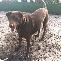 Shar Pei/Labrador Retriever Mix Dog for adoption in Boca Raton, Florida - Liddy