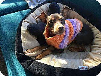 Miniature Pinscher Dog for adoption in Richmond, Kentucky - Mercy