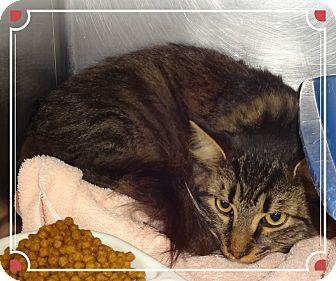 Domestic Mediumhair Cat for adoption in Marietta, Georgia - BOB (R)