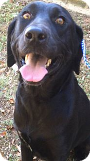 Labrador Retriever Mix Dog for adoption in Brattleboro, Vermont - Sonny