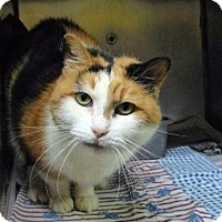 Domestic Shorthair Cat for adoption in Warsaw, Indiana - Lady