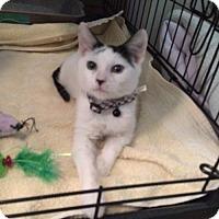 Adopt A Pet :: Zorro - O'Fallon, MO