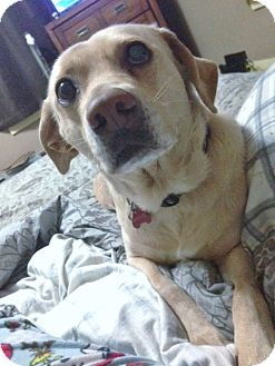 Labrador Retriever/German Shepherd Dog Mix Dog for adoption in Grafton, Wisconsin - Ginger aka Elsie