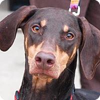 Adopt A Pet :: Sassy - Mishawaka, IN