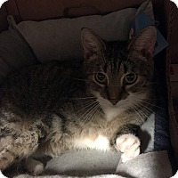 Domestic Shorthair Cat for adoption in Loogootee, Indiana - Leah