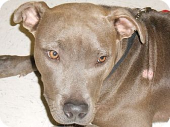 American Staffordshire Terrier Mix Dog for adoption in Lockhart, Texas - Lala Blue