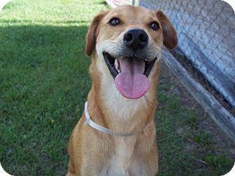 Labrador Retriever Mix Dog for adoption in Tampa, Florida - Jack