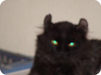 American Curl Cat for adoption in Scottsdale, Arizona - Gumbo, black & grey