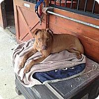 Adopt A Pet :: Jude - Hollywood, FL