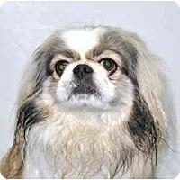 Adopt A Pet :: Peke - Port Washington, NY