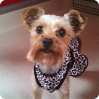 Adopt A Pet :: Noodle - Norman, OK