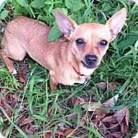 Adopt A Pet :: Lulu - Ocean Ridge, FL