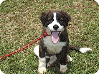 Shepherd (Unknown Type)/Mastiff Mix Puppy for adoption in Thomaston, Georgia - 'Oddles