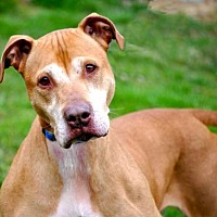 Hound (Unknown Type)/American Staffordshire Terrier Mix Dog for adoption in Spring Lake, New Jersey - Caleb