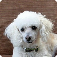 Adopt A Pet :: Sugar - Walnut Creek, CA