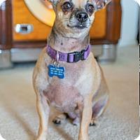 Adopt A Pet :: Pierre is a little gentleman! - Redondo Beach, CA