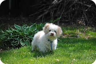 Terrier (Unknown Type, Small)/Shih Tzu Mix Dog for adoption in Philadelphia, Pennsylvania - LUCKY!