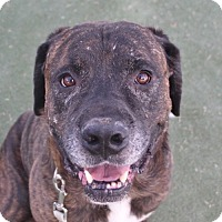 Adopt A Pet :: *SARGE A916477 @ The Animal Fo - Beverly Hills, CA