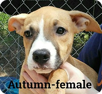 Catahoula Leopard Dog/American Pit Bull Terrier Mix Puppy for adoption in Albany, New York - Autumn