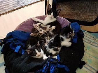American Shorthair Kitten for adoption in Los Angeles, California - Kittens!!