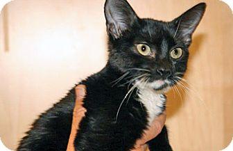 Domestic Shorthair Kitten for adoption in Wildomar, California - Sylvester