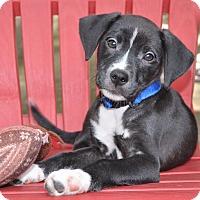 Adopt A Pet :: Ebony - Allentown, PA
