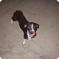 Adopt A Pet :: Phoebe - Buchanan Dam, TX