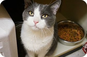 Domestic Shorthair Cat for adoption in Salem, New Hampshire - Verns