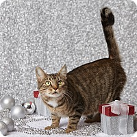 Domestic Shorthair Cat for adoption in Harrisonburg, Virginia - Merry Mary
