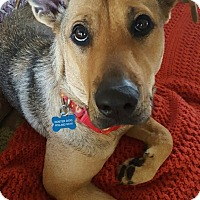 Adopt A Pet :: Allie (FORT COLLINS) - Fort Collins, CO