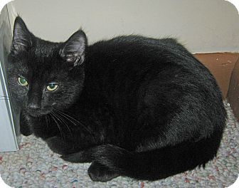Domestic Shorthair Kitten for adoption in N. Billerica, Massachusetts - Kaluha