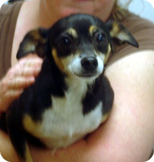 Chihuahua Mix Dog for adoption in baltimore, Maryland - Burke aka weasel
