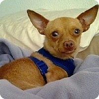 Adopt A Pet :: FREDDY - AUSTIN, TX