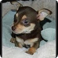 Adopt A Pet :: Munchkin - Staunton, VA