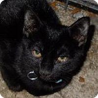 Domestic Shorthair Cat for adoption in Jacksonville, North Carolina - Edgar