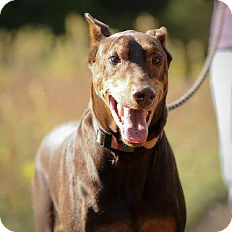 Doberman Pinscher Dog for adoption in Palmyra, Nebraska - Rudy