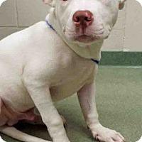 Adopt A Pet :: ADOPTED!!!   Snowball - Channahon, IL