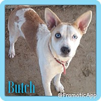 Adopt A Pet :: Butch in CT - East Hartford, CT