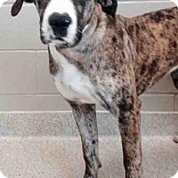Adopt A Pet :: Bindi - Shorewood, IL