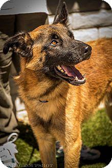 Belgian Malinois/Belgian Tervuren Mix Dog for adoption in Phoenix, Arizona - Neil Armstrong