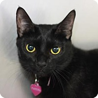 Domestic Shorthair Cat for adoption in Kyle, Texas - PANDORA