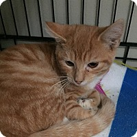 Domestic Shorthair Kitten for adoption in Hamilton, New Jersey - MANGO