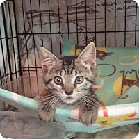 Domestic Shorthair Kitten for adoption in Clarkson, Kentucky - Rae