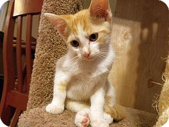Domestic Shorthair Kitten for adoption in Chattanooga, Tennessee - Starburst