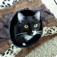 Domestic Shorthair Kitten for adoption in Columbus, Ohio - Marco