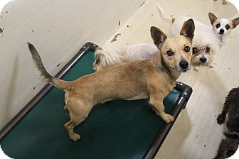Chihuahua Mix Dog for adoption in Odessa, Texas - A23 Logan