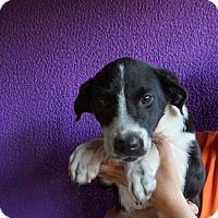 Adopt A Pet :: Eclipse - Oviedo, FL