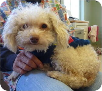 Poodle (Miniature) Mix Dog for adoption in Grants Pass, Oregon - Pendleton
